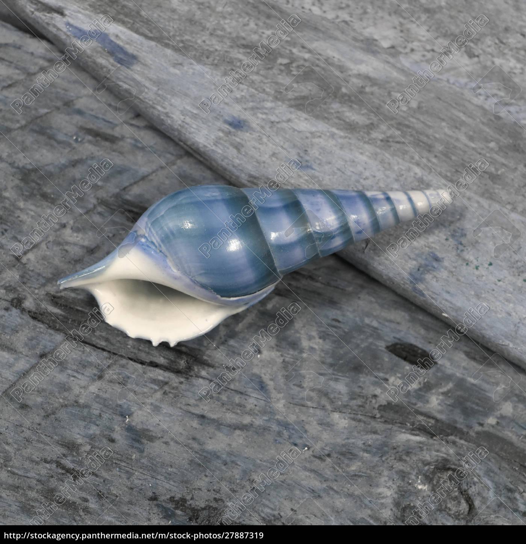 natutical, shell, martwa, natura. - 27887319