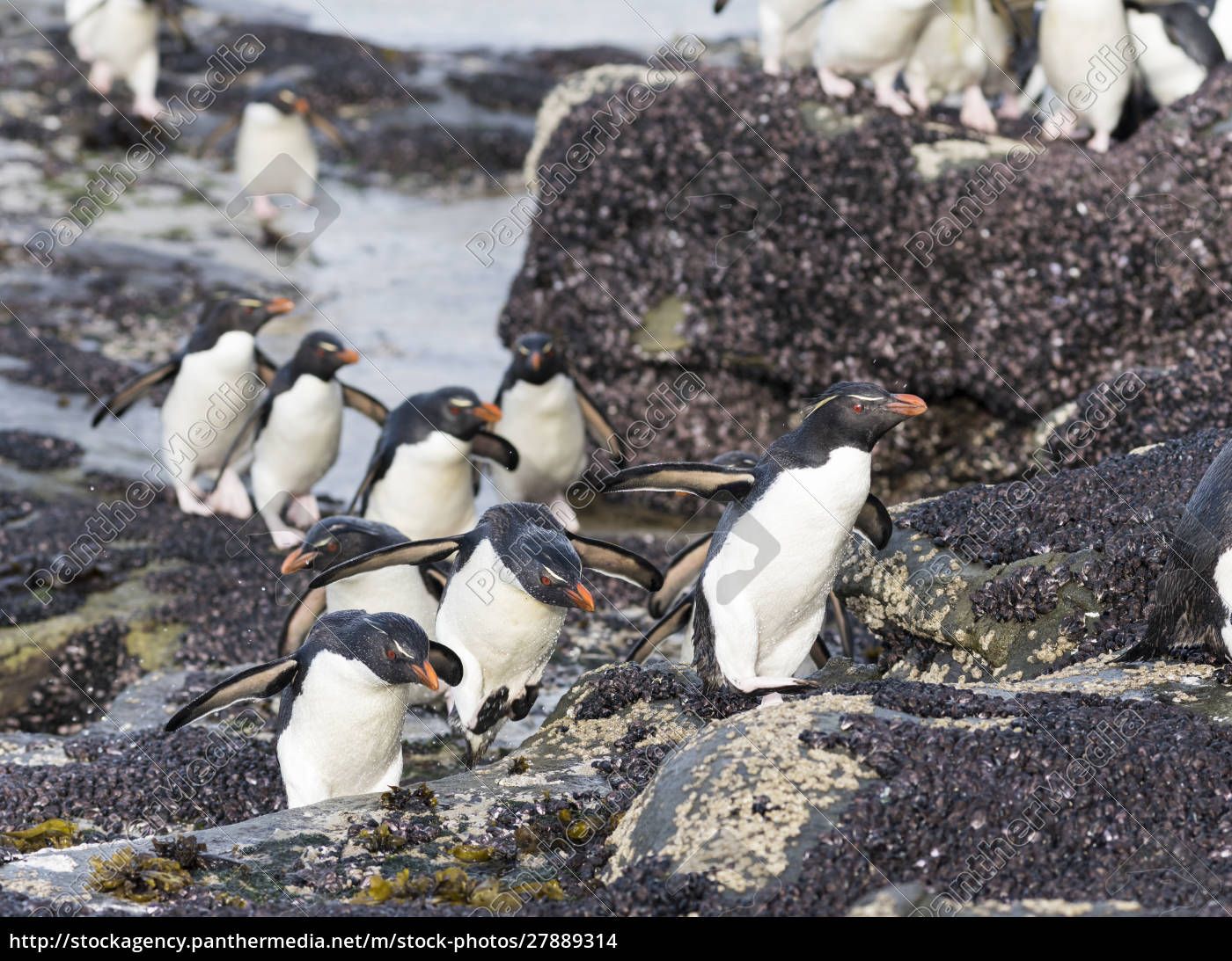 pingwin, rockhopper, (eudyptes, chrysocome), pingwiny, na - 27889314