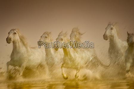 biale konie z camargue francja dziala
