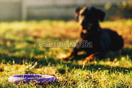 wyszkolony pies zegarek za zabawka na