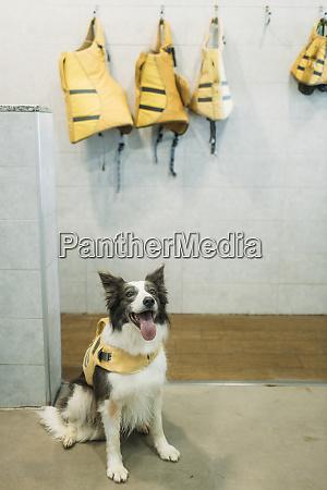 border collie w kamizelce ratunkowej wystajacej