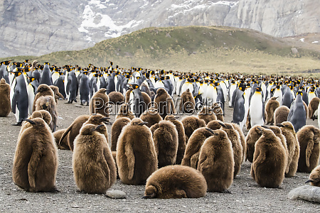 adult, king, penguins, and, oakum, boy - 28769582