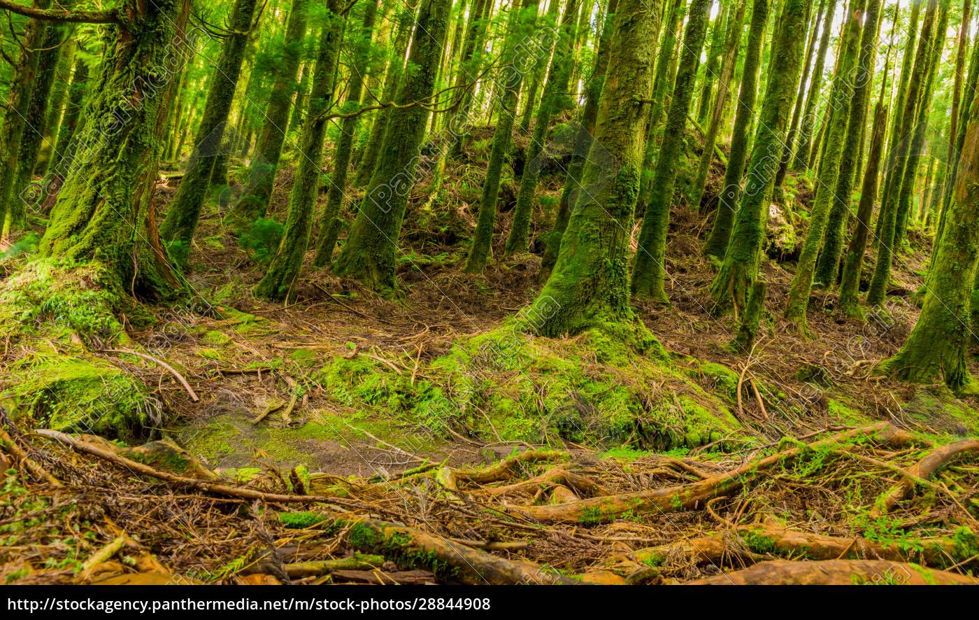 mystic, green, forest, in, azores - 28844908