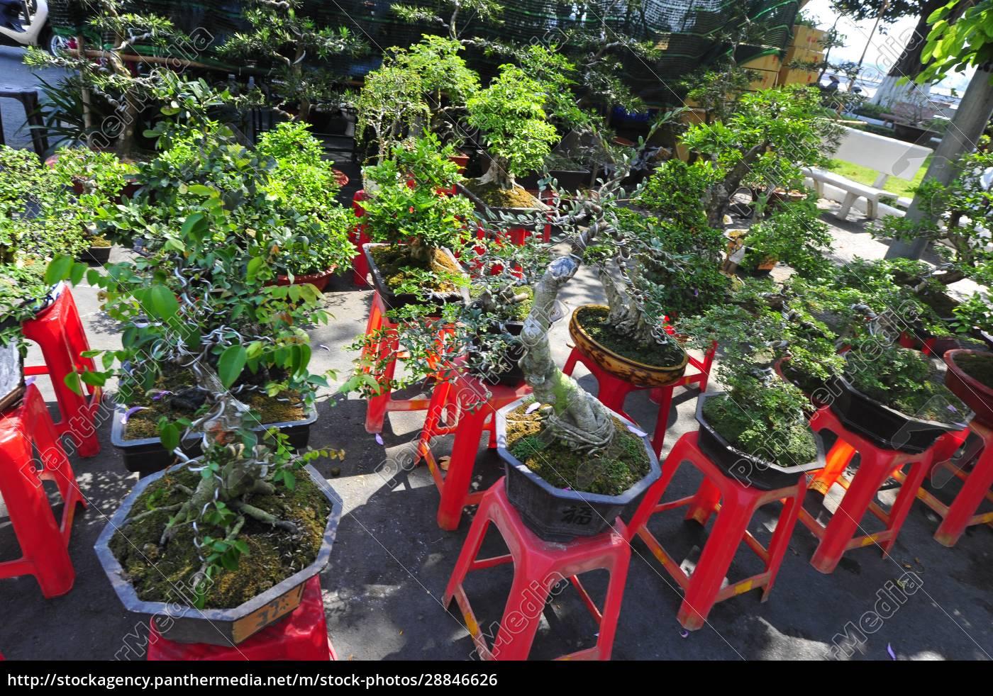 kultura, bonsai, w, wietnamie - 28846626