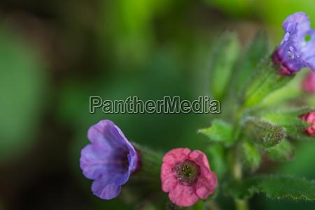 kolorowe kwiaty z lungwort