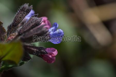 lungwort na wiosne i przyrode