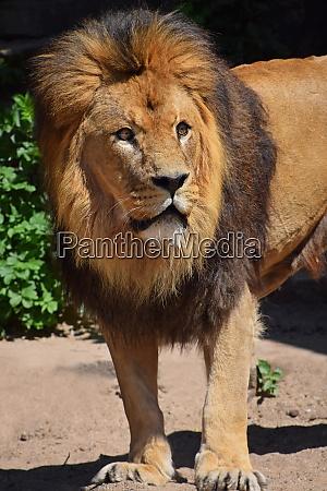 z bliska portret lwa patrzacego w