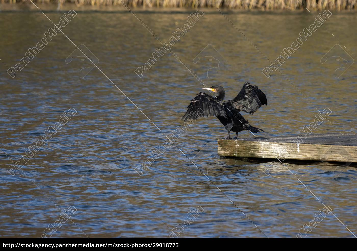 cormorant, with, open, wings, at, cripplegate - 29018773