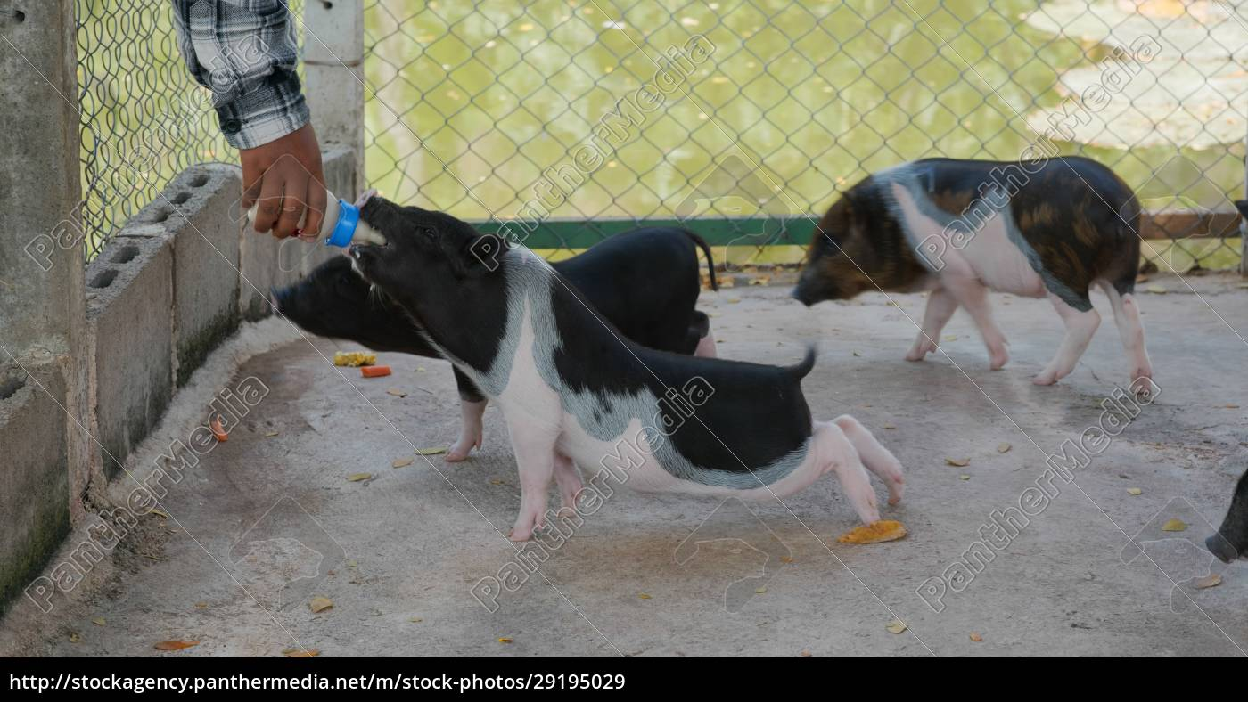 feed, little, pig, at, farm - 29195029
