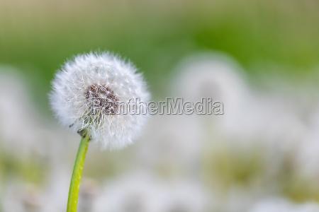 piekny wiosenny mniszek kwiatowy na lace