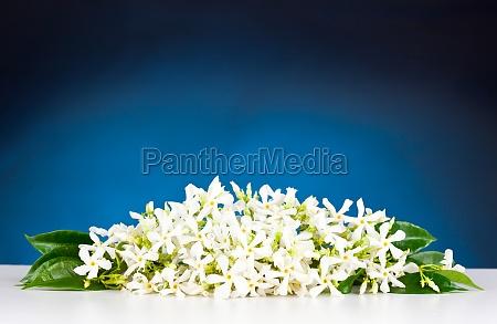 kwiaty jasminu