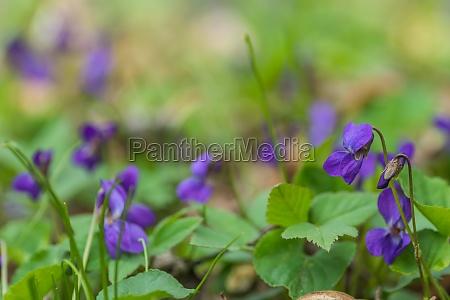 fresh, fragrant, violoet, in, soft, green - 29767888