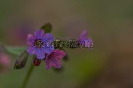 fresh, lungwort, herbs, for, tea, closeup - 29767889