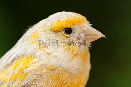 piękny, żółty, kanarek - 29778471