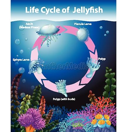 schemat, przedstawiający, cykl, życia, meduz - 30255829